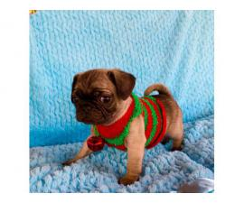 2 females Christmas Pug puppies 8 weeks