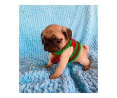 2 females Christmas Pug puppies 8 weeks