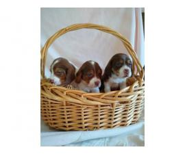 Full-blooded liver-colored beagle puppies