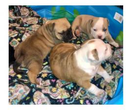 3 American Bully Puppies for rehoming