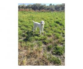 10 months old male standard Poodle puppy up for rehoming