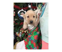 12 AKC-registered yellow Labrador Retriever puppies