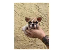 Rehoming AKC French bulldog litter