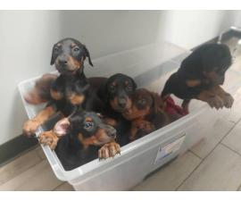 3 AKC Doberman Puppies available for sale