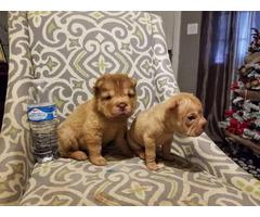 2 adorable female mini sharpei puppies ready to go