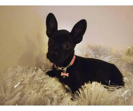 2 females Frenchton puppies for sale