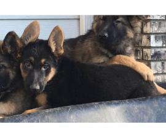 AKC registeredGerman Shepherd Puppies!