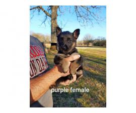 3 females 2 males  AKC German Shepherd Pups