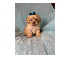4 Pretty Maltipoo puppies looking for a new home