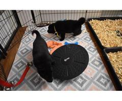 4 males AKC Working Line German Shepherd Puppies