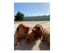 AKC Golden retrievers 7 males and 2 females