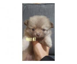 3 Pomeranians for sale