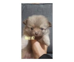 3 Pomeranians for sale