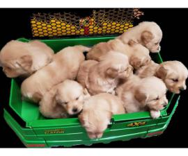 9 AKC Golden Retriever puppies for sale
