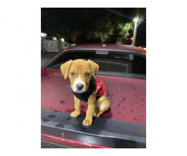 9 weeks old Male Pit bull puppy to be rehomed