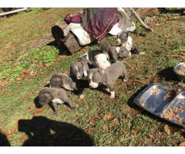 Seven Blue Nose Pit puppies for sale