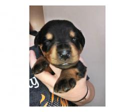 Rottweiler Puppies for sale 2 Boys & 7 Girls Left
