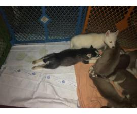 One black and white Husky puppy left