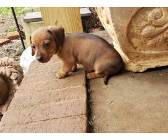 Mini Dachshund puppy for adoption