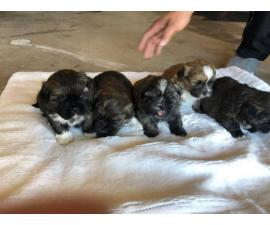 6 Shih Tzupuppies for rehoming