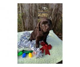 English chocolate Labrador puppies available
