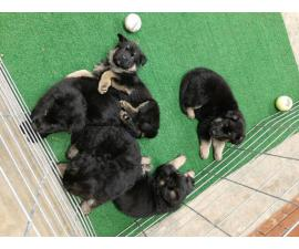Working Line AKC German Shepherd Puppies