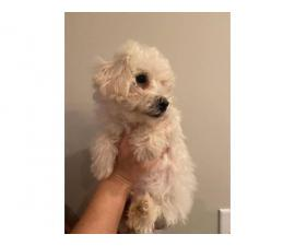 One male Bichon frise puppy left