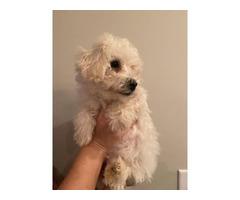 One male Bichon frise puppy left