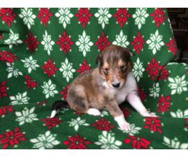 Litter of AKC Rough Collie puppies for rehoming