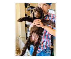 8 week old brown Male AKC poodle puppy