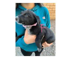 3 Border Collie Lab Mix Puppy for sale