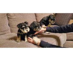3 female mini schnauzers for sale