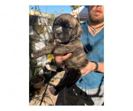 Cane corso boxer mix puppies for adoption
