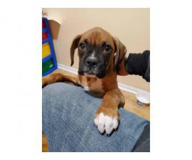 12 weeks old male Boxer puppy needs a good home