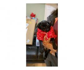 One black male pug puppy for sale