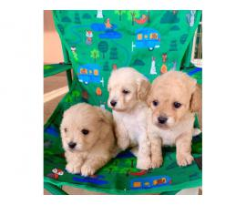 Cute Maltipoo puppies looking for a great home