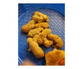AKC Golden Retriever puppies for Adoption