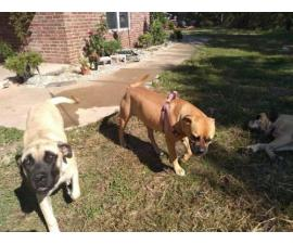 Purebred Mastiff puppies for rehoming