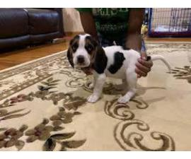 6 weeks old Beagle puppy for FREE