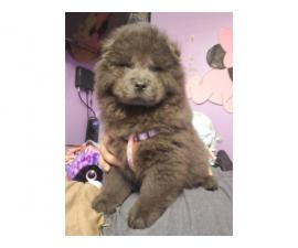 2 months old Blue chow chow male puppy for sale
