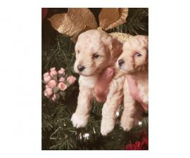 Absolutely beautiful toy poodle puppies