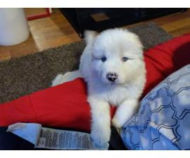 5 Males 2 Females Great Pyrenees Puppies for sale