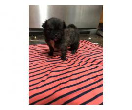 4 Shih Tzu Pom Mix Puppies for sale