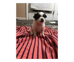 4 Shih Tzu Pom Mix Puppies for sale