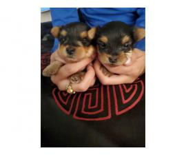 One male Yorkie puppy left