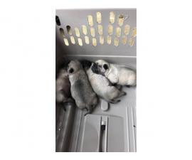 4 Pug babies available for sale