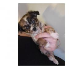 Tiny toy size chihuahua babies looking for loving family