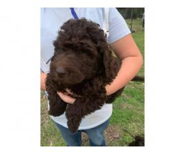 2 males and 2 females labradoodle puppies left