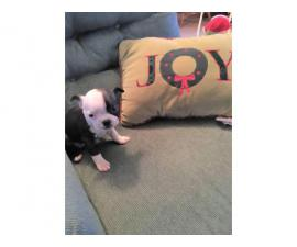 Boston Terrier Puppy Female is available for adoption