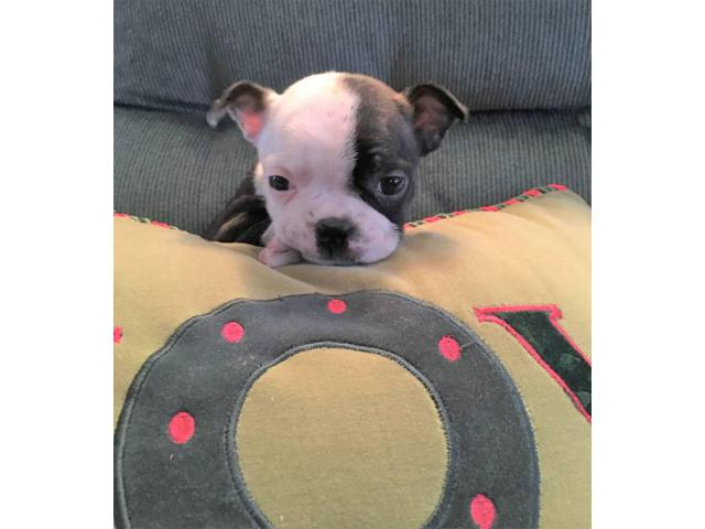 Boston Terrier Puppy Female Is Available For Adoption In Riverton New Jersey Puppies For Sale